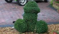 penis shrub